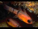 Belted Cardinalfish - Cardinalfish<br>(<i>Apogon townsendi</i>)