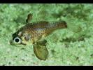 Blackfin Cardinalfish - Cardinalfish<br>(<i>Astrapogon puncticulatus</i>)