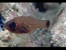 Dusky Cardinalfish - Cardinalfish<br>(<i>Phaeoptyx pigmentaria</i>)