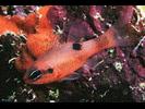 Flamefish - Cardinalfish<br>(<i>Apogon maculatus</i>)