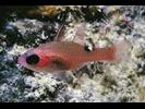 Whitestar Cardinalfish - Cardinalfish<br>(<i>Apogon lachneri</i>)