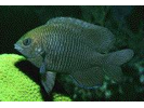 Dusky Damselfish - Damselfish<br>(<i>Stegastes adustus</i>)