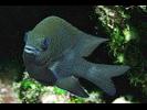 Longfin Damselfish - Damselfish<br>(<i>Stegastes diencaeus</i>)