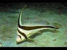 Jackknife-Fish - Drum<br>(<i>Equetus lanceolatus</i>)
