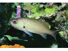 Reef Croaker - Drum<br>(<i>Odontoscion dentex</i>)