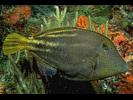 Orangespotted Filefish - Filefish<br>(<i>Cantherhines pullus</i>)