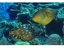 Whitespotted Filefish - Filefish<br>(<i>Cantherhines macrocerus</i>)