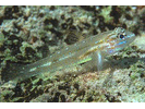 Bridled Goby Complex (Bridled/Sand-Canyon/Patch-Reef) - Goby<br>(<i>C. glaucofraenum/C. bol/C. tortugae</i>)