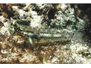Colon Goby - Goby<br>(<i>Coryphopterus dicrus</i>)