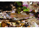 Pallid Goby - Goby<br>(<i>Coryphopterus eidolon</i>)
