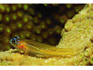 Peppermint Goby - Goby<br>(<i>Coryphopterus lipernes</i>)