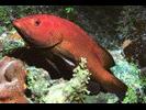 Coney - Seabass<br>(<i>Cephalopholis fulva</i>)