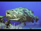 Goliath Grouper - Seabass<br>(<i>Epinephelus itajara</i>)