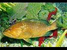 Red Grouper - Seabass<br>(<i>Epinephelus morio</i>)