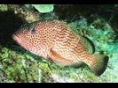 Red Hind - Seabass<br>(<i>Epinephelus guttatus</i>)