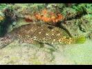 Rock Hind - Seabass<br>(<i>Epinephelus adscensionis</i>)
