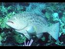 Yellowfin Grouper - Seabass<br>(<i>Mycteroperca venenosa</i>)