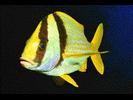 Porkfish - Grunt<br>(<i>Anisotremus virginicus</i>)