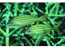 Smallmouth Grunt - Grunt<br>(<i>Haemulon chrysargyreum</i>)