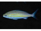Striped Grunt - Grunt<br>(<i>Haemulon striatum</i>)