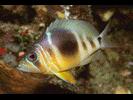Barred Hamlet (Caribbean) - Seabass<br>(<i>Hypoplectrus puella</i>)
