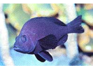 Black Hamlet - Seabass<br>(<i>Hypoplectrus nigricans</i>)