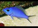 Blue Hamlet - Seabass (<i>Hypoplectrus gemma</i>)