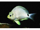 Butter Hamlet - Seabass<br>(<i>Hypoplectrus unicolor</i>)