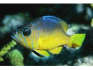Yellowbelly Hamlet - Seabass<br>(<i>Hypoplectrus aberrans</i>)