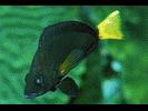 Yellowtail Hamlet - Seabass<br>(<i>Hypoplectrus chlorurus</i>)