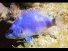 Hybrid Hamlet - Seabass<br>(<i>Hypoplectrus (Hybrid)</i>)