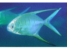 Palometa - Jack<br>(<i>Trachinotus goodei</i>)