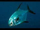 Permit - Jack<br>(<i>Trachinotus falcatus</i>)