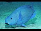 Blue Parrotfish - Parrotfish<br>(<i>Scarus coeruleus</i>)
