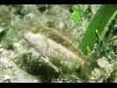 Bucktooth Parrotfish - Parrotfish<br>(<i>Sparisoma radians</i>)