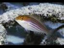 Greenblotch Parrotfish - Parrotfish<br>(<i>Sparisoma atomarium</i>)