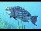 Midnight Parrotfish - Parrotfish<br>(<i>Scarus coelestinus</i>)