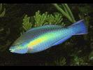 Princess Parrotfish - Parrotfish<br>(<i>Scarus taeniopterus</i>)