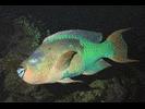 Rainbow Parrotfish - Parrotfish<br>(<i>Scarus guacamaia</i>)