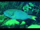 Yellowtail (Redfin) Parrotfish - Parrotfish<br>(<i>Sparisoma rubripinne</i>)