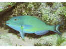 Redtail Parrotfish - Parrotfish<br>(<i>Sparisoma chrysopterum</i>)
