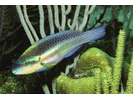 Striped Parrotfish - Parrotfish<br>(<i>Scarus iseri</i>)
