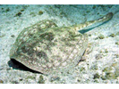 Yellow Stingray - Round Stingrays<br>(<i>Urobatis jamaicensis</i>)