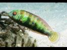 Green Razorfish - Wrasse<br>(<i>Xyrichtys splendens</i>)