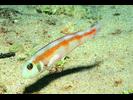Rosy Razorfish - Wrasse<br>(<i>Xyrichtys martinicensis</i>)