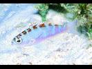 Chalk Bass - Seabass<br>(<i>Serranus tortugarum</i>)