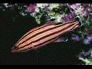 Peppermint Basslet - Basslet / Seabass<br>(<i>Liopropoma rubre</i>)