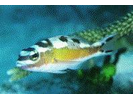 Tobaccofish - Seabass<br>(<i>Serranus tabacarius</i>)