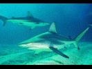 Blacktip Shark - Requiem Shark<br>(<i>Carcharhinus limbatus</i>)