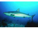 Reef Shark (Caribbean) - Requiem Shark<br>(<i>Carcharhinus perezii</i>)